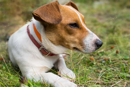 A Jack Russell dog on the grass Stock Photo