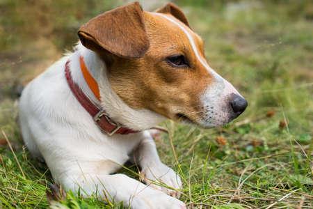 Ein Jack Russell Hund auf dem Gras