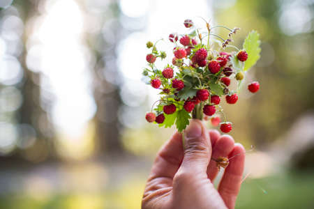 Berries of wild strawberries in hand