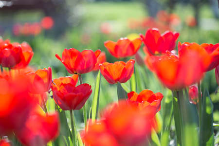 Multi-colored tulips on the flowerbed