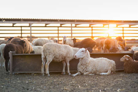 Herd of Sheep in the pen, sheep at sunset returned home