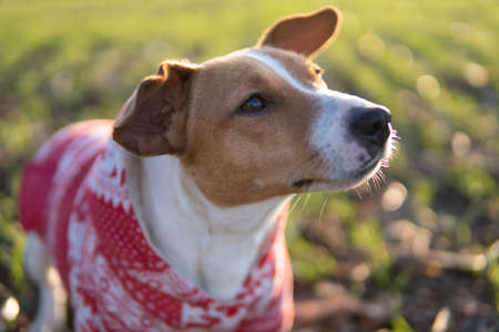 Jack Russell dog on a walk in a funny suit