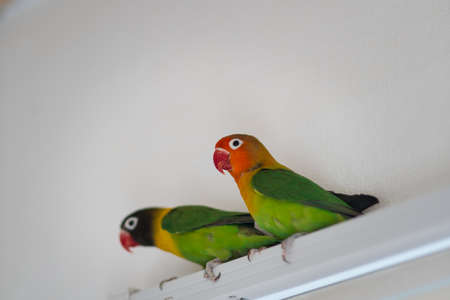 Parrots of the breed are in love in the room Stock Photo
