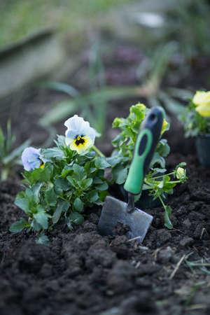 Flowers viola on the flowerbed, planting seedlings Stock Photo