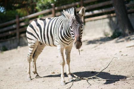 Zebra in the zoo enclosure