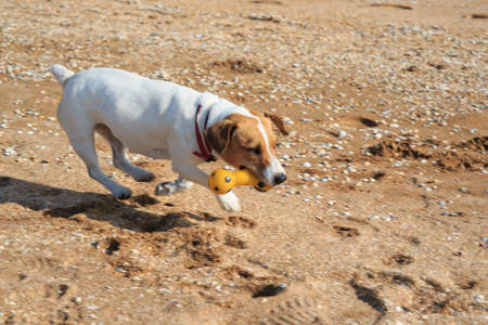 Dog Jack Russell on the beach, , dog on the sea Archivio Fotografico