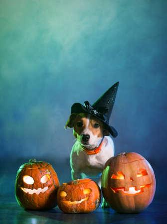 Perro Jack Russell disfrazado para Halloween Foto de archivo