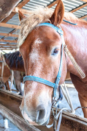 Head of horse peeking out of the stall, stable or paddock eating dry grass. Horse portrait