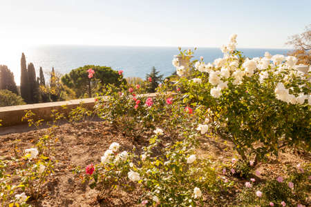 Roses on the terraces on the South side of the Vorontsov