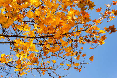 Bright colorful orange red yellow fall maple leafs on tree against the blue sky background Autumn leaves back to school concept. 写真素材 - 134642996