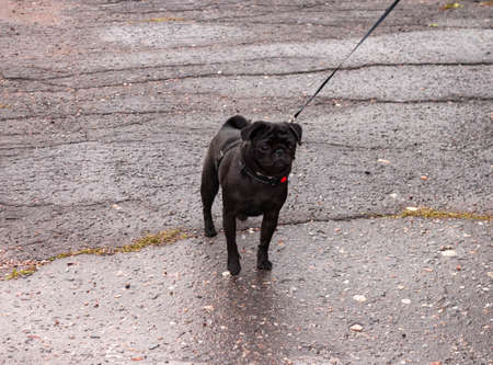 black pug on a leash is on the asphalt road 写真素材