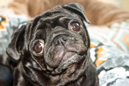 Close up face of cute black color pug dog breed listening to somebody or something funny tilt head and eyes wide open. Selective soft focus. Text copy space. Dog friend companion concept