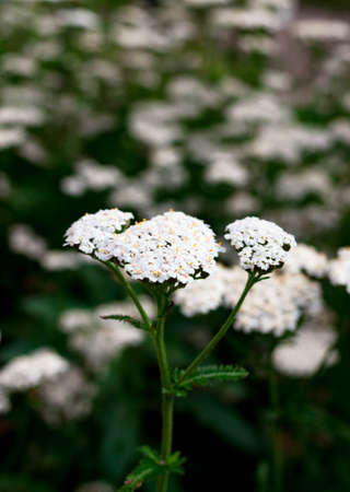 Beautiful white yarrow flower close up with stem and leaves on a blurred green natural background. Selective soft focus. Shallow depth of field. Text copy space. Spring summer herbal medicine concept
