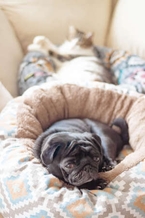 Beautiful pug dog and a cat. Cute Pets lie on their bedding on the couch. Side interior background view. Selective soft focus. Shallow depth of field. Text copy space. Stockfoto