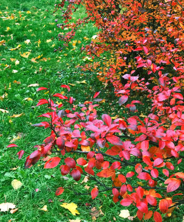 Autumnal natural garden park background with red leaves of bushes, green grass lawn with fallen leaves. Autumn fall concept.