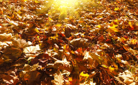 Autumn natural seasonal sunny background with golden maple leaves carpet with sun rays close up. Autumn fall concept