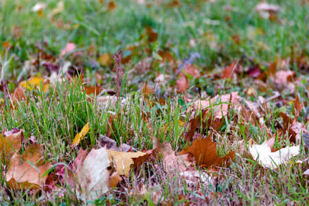 Close up fallen brown dry leaves on wet green grass Autumn background concept. Selective soft focus. Shallow depth of field. Text copy space. Stockfoto