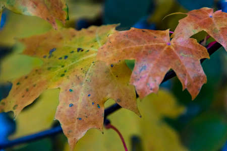 Colorful wet autumn maple leaves on a tree. Selective soft focus. Shallow depth of field. Text copy space. Fall concept.