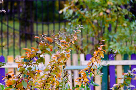Beautiful autumn background with colorful bush leaves, wrought iron fence and multycolored wooden hedge. Fall concept. Selective soft focus. Shallow depth of field. Text copy space. Stockfoto