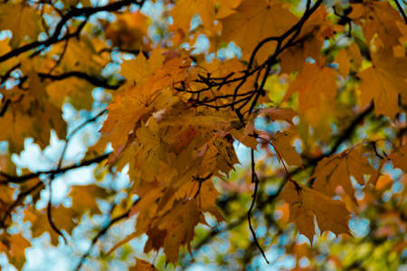 Yellow autumn maple leaves on a tree against a blue sky. Selective soft focus. Shallow depth of field. Text copy space. Fall concept.