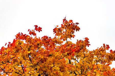 Yellow autumn maple leaves on a tree against sky isolated. Selective soft focus. Shallow depth of field. Text copy space. Fall concept.