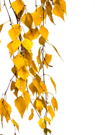 Birch branch hanging with green yellow color autumn leaves isolated on white background. Selective soft focus. Shallow depth of field. Text copy space. Fall concept. Stockfoto