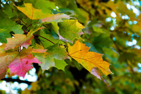 Yellow red green autumn maple leaves on a tree against a blue sky. Selective soft focus. Shallow depth of field. Text copy space. Fall concept.