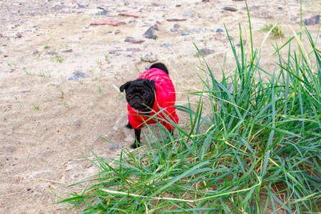 Cute beautiful black pug stay on sand in grass in red vest close-up view. Selective soft focus. Shallow depth of field. Text copy space. Purebreed black pug concept