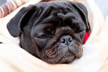 Cute beautiful black frozen pug wrapped in a warm blanket. Full-face close-up view. Selective soft focus. Shallow depth of field. Text copy space. Purebreed black pug concept Stockfoto
