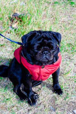 Cute beautiful black pug sitting on the grass in red vest in harness with leash close-up view. Selective soft focus. Shallow depth of field. Text copy space. Purebreed black pug concept