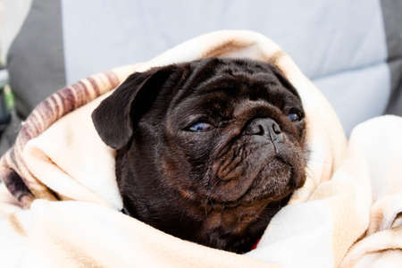 Cute beautiful black frozen pug wrapped in a warm blanket. Profile close-up view. Selective soft focus. Shallow depth of field. Text copy space. Purebreed black pug concept