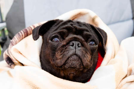 Cute beautiful black frozen pug wrapped in a warm blanket. Full-face close-up view. Selective soft focus. Shallow depth of field. Text copy space. Purebreed black pug concept Foto de archivo