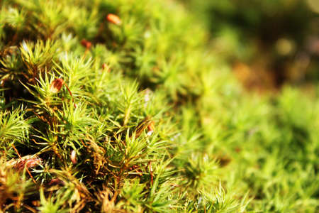 Macro view of fresh green color polytrichum moss Polytrichum. Close up. Natural background view. Selective soft focus. Shallow depth of field. 写真素材