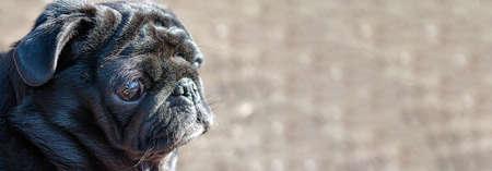 Black color pug head profile portrait on blurred natural background close up view. Banner. Selective soft focus. Shallow depth of field. Reklamní fotografie