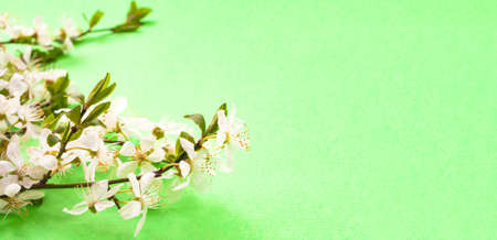 Whitecolor cherry flower blossoms on bright green background banner. Spring holyday concept. Top view.Selective soft focus. Text copy space. 版權商用圖片