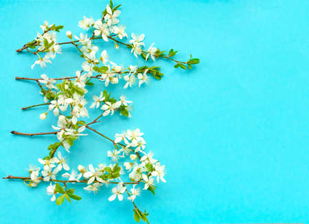 White cherry flower blossoms on blue background. Top view. Copy space 版權商用圖片