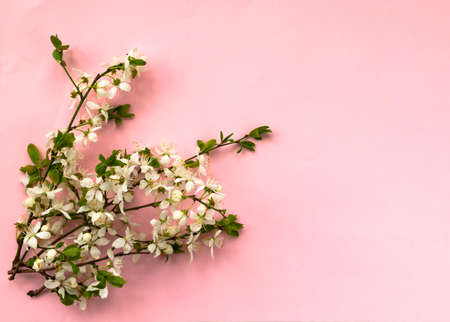 White cherry flower blossoms on light pink background. Top view. Copy space