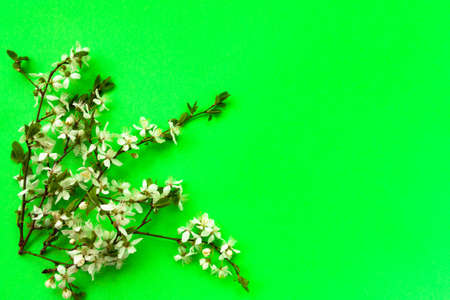 Whitecolor cherry flower blossoms on bright green background. Spring holyday concept. Top view.Selective soft focus. Text copy space.