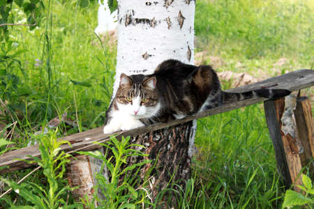 Young cat white and brown on wooden bench close up portrait on birch tree, green blurred background
