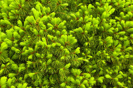 Spruce conica young green sprouts concept natural background. Close up. Selective focus. Copy space 写真素材
