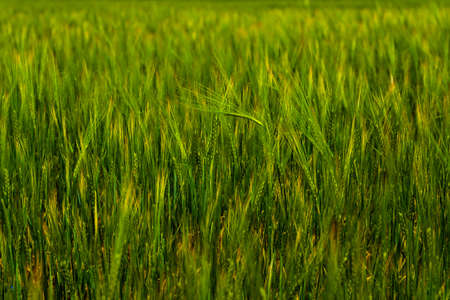 Spikelets green rye wheat grows. Ripening green crops wheat cereals on agricultural field background 写真素材 - 153683889