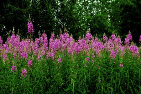 Pink flowers fireweed, Ivan - tea, kopor tea row line on green forest natural background