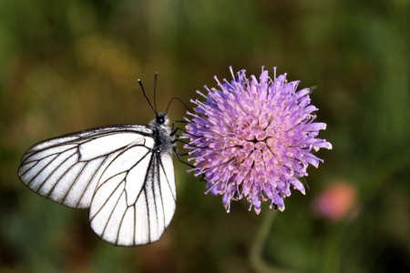 Hawthorn butterfly Black-Veined White on lilac flower scabies Knautia arvensis on blurred background