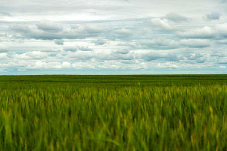 Spikelets green rye wheat grows. Ripening green crops wheat cereals on agricultural field background 写真素材