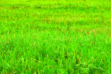 Green grass color meadow recently trimmed natural background texture. Cut meadow concept.