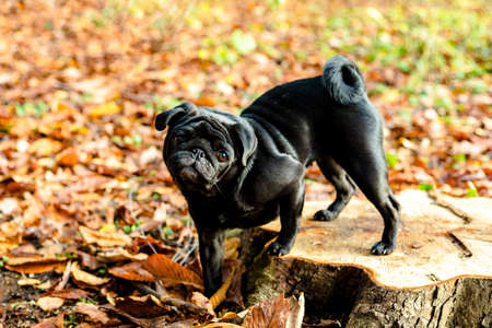 Black pug staying on stump on natural autumn leaves blurry background. Close up. Copy space