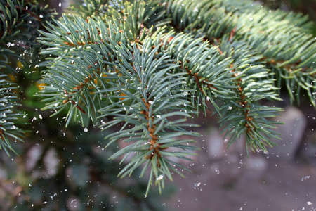 Blue Spruce Coniferous tree branch paw with green needles natural abstract snow background. New Year, Christmas Tree Concept. Close up. Selective focus. Copy space 写真素材