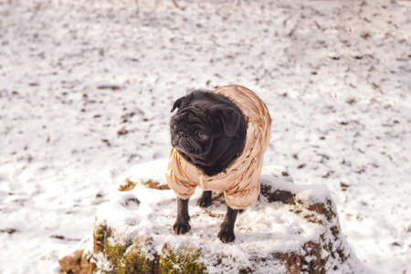 Dog black pug in golden clothes stands on stump on snow winter natural forest background. Close up. Selective focus. Copy space