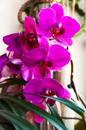 Phalaenopsis purple lush orchid home flower indoors at house window sill. Close up. Selective focus. Copy space