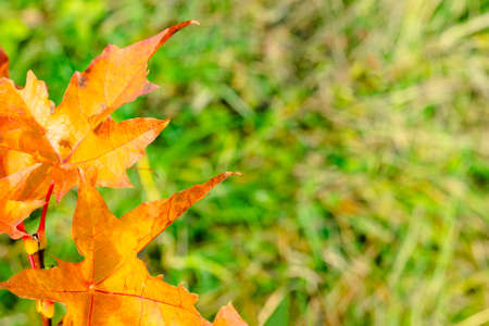 Orange maple leaves of small bush tree on grass nature background. Autumn season concept. Fall time 写真素材